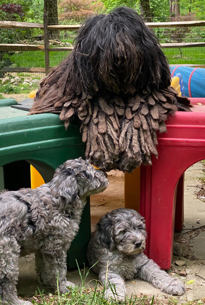Bergamasco Puppies